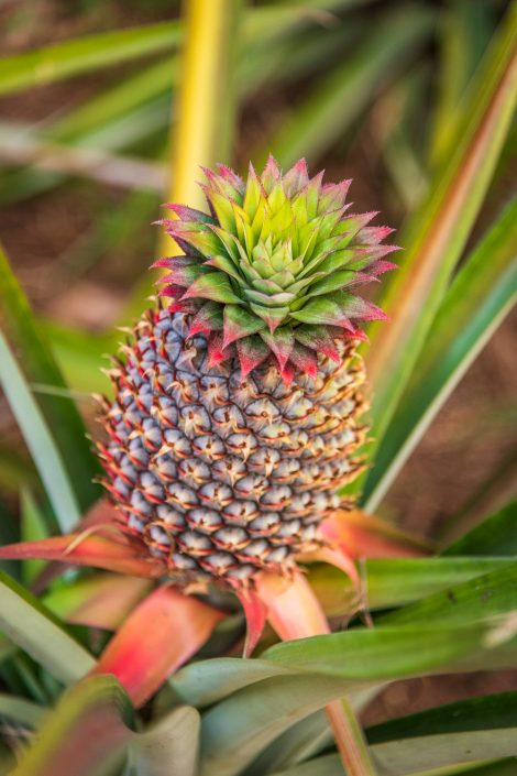 this is how a pineapple grows..
