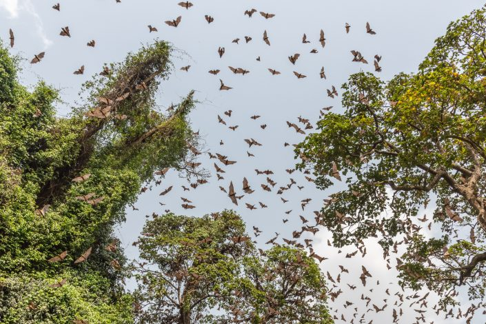 Fruit bats in the sacred forest of Ouidah, benin, africa