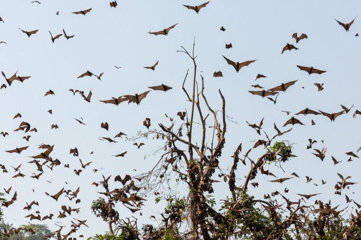 fruit bats, togo, africa