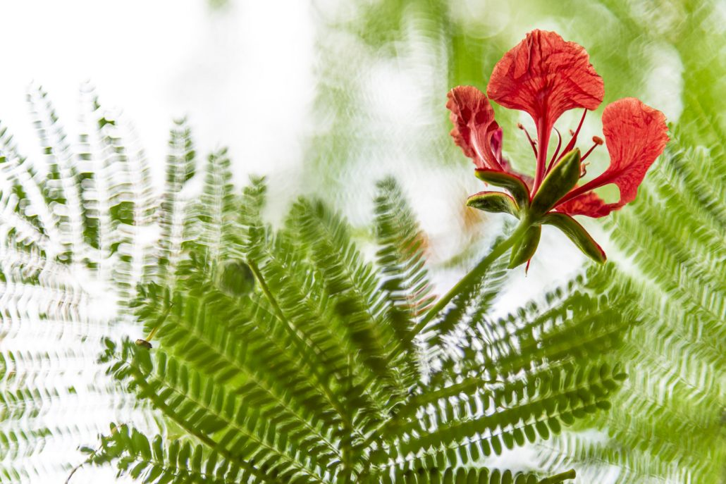 mucumbli flower
