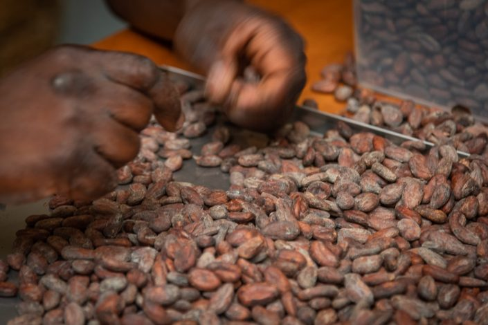 cocoa beans for chocolate