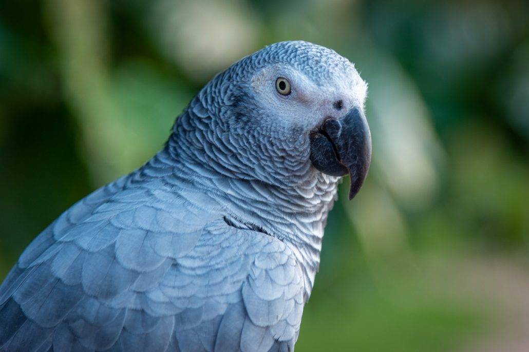 parrot Principe Island
