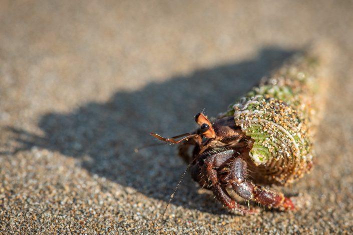 hermit crab Sao Tomè