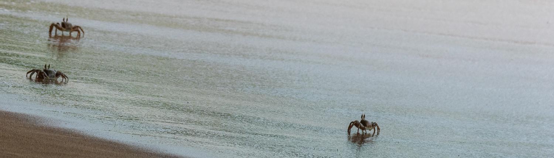 running crabs