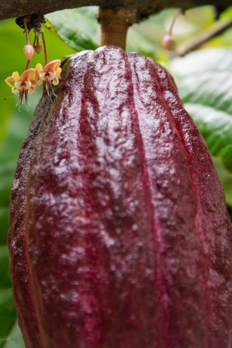 Cocoa Fruit and flower