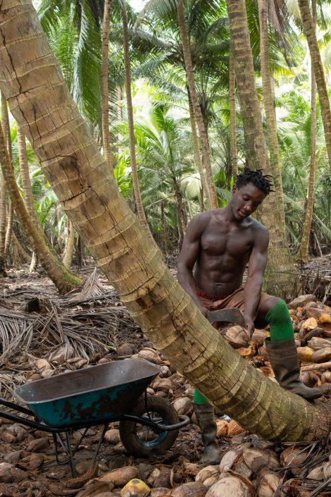 harvesting coco nuts